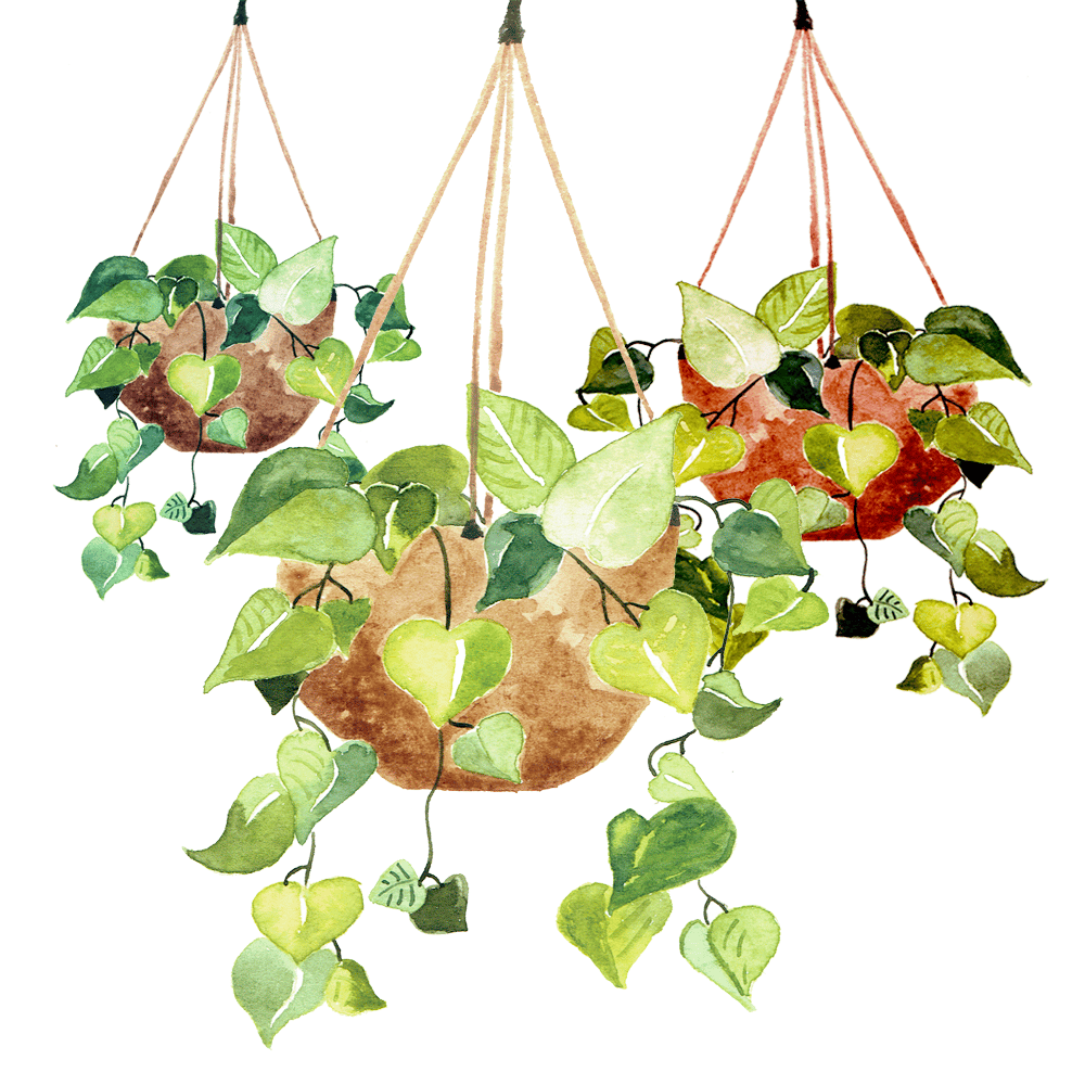 Pothos Plant - image 2 - student project