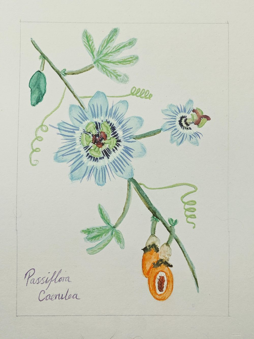 Passionflower - image 1 - student project