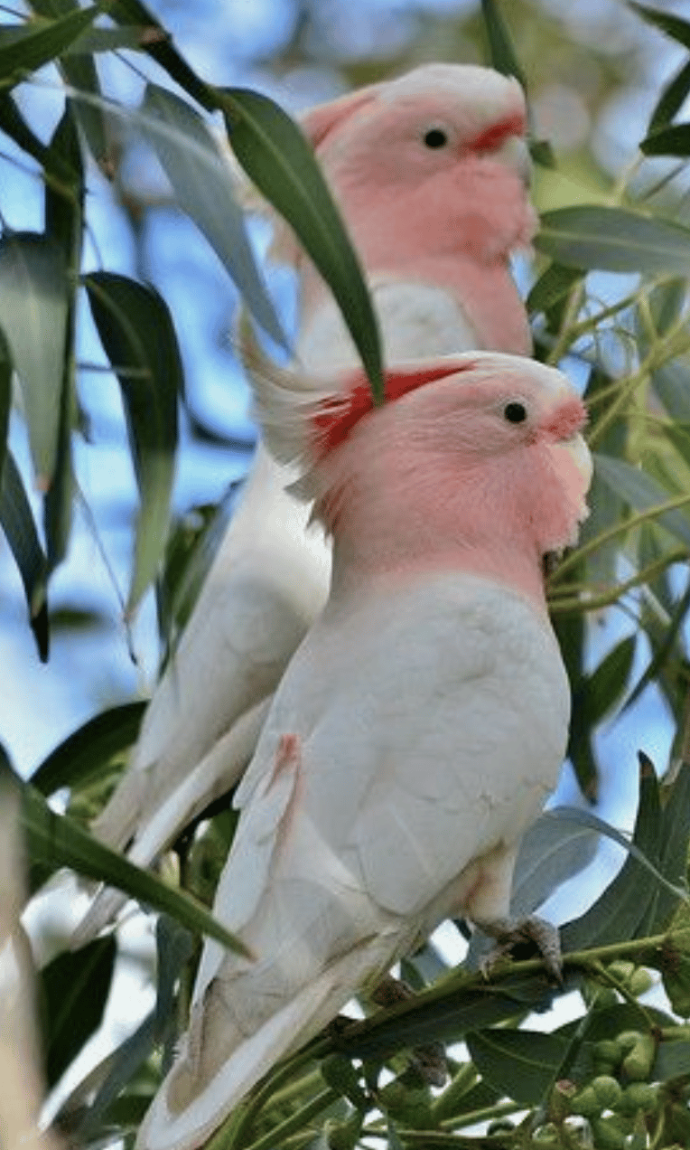 Cockatoos - image 2 - student project
