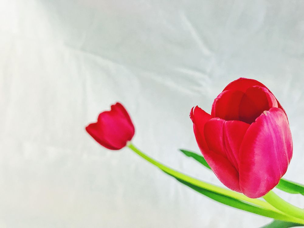 Red Tulips - image 4 - student project