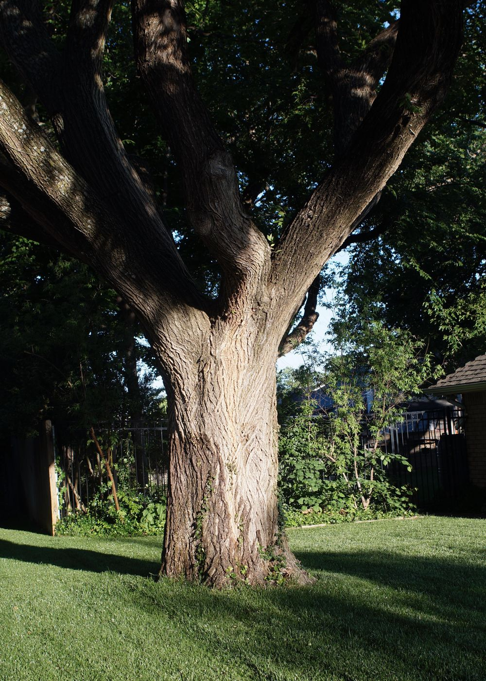 American Elm in the Early AM - image 1 - student project