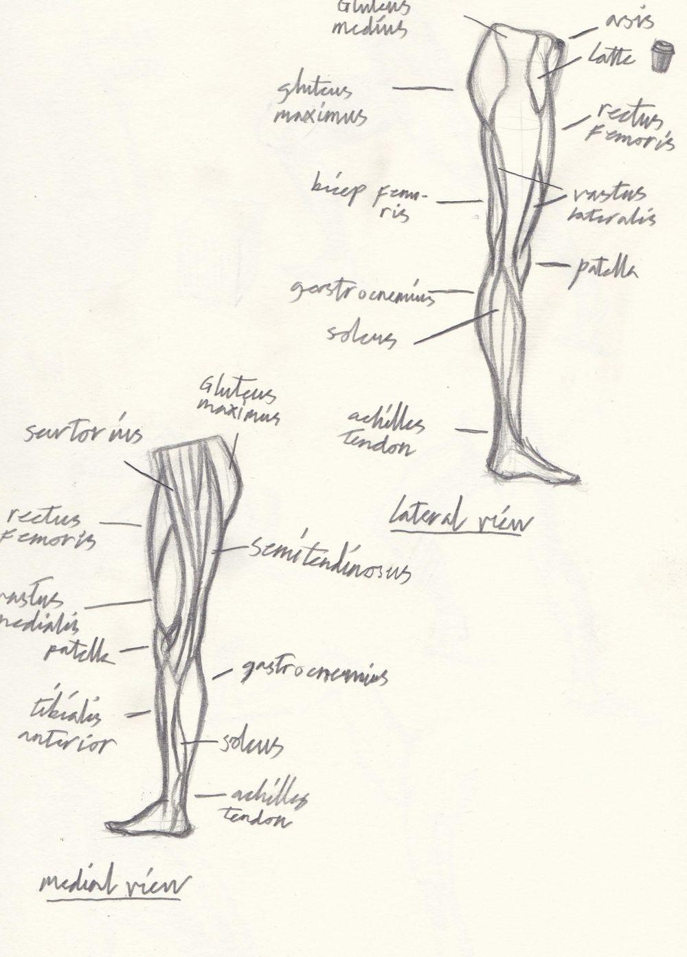 leg anatomy - image 2 - student project