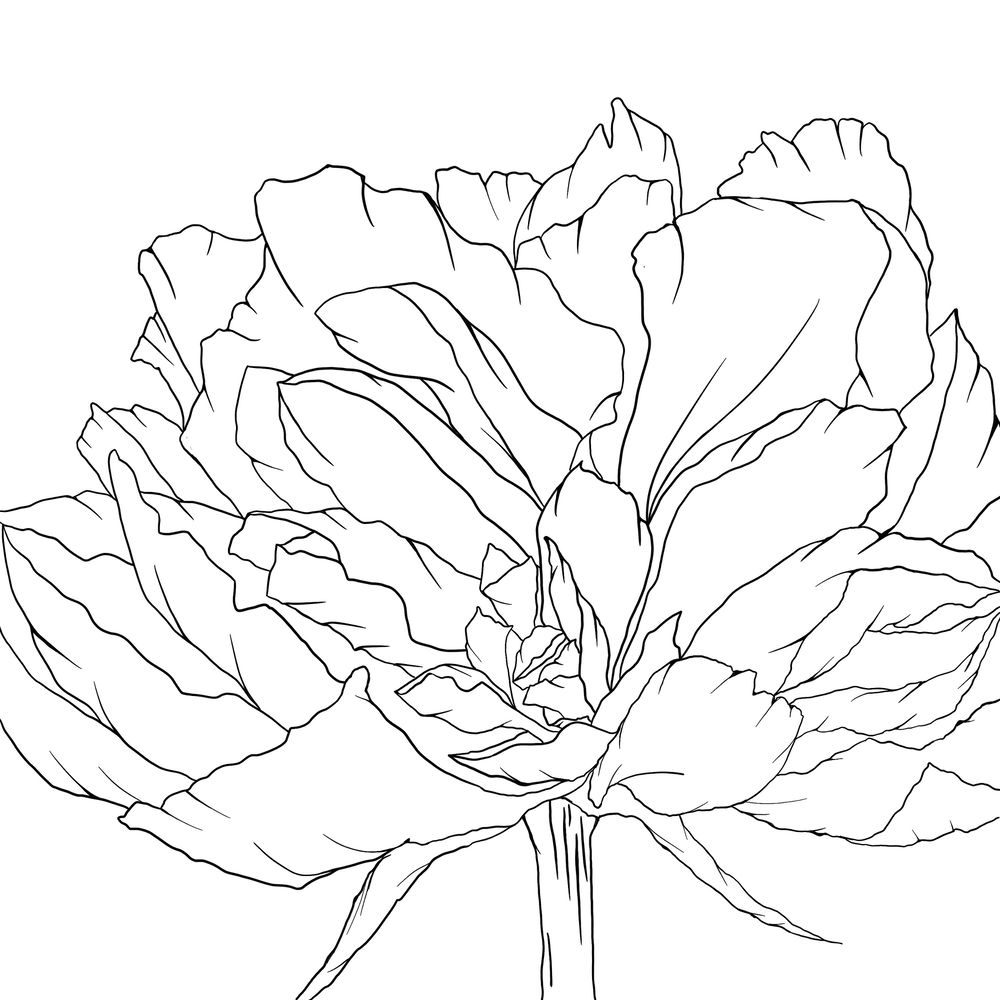Peony Line Drawing - image 1 - student project