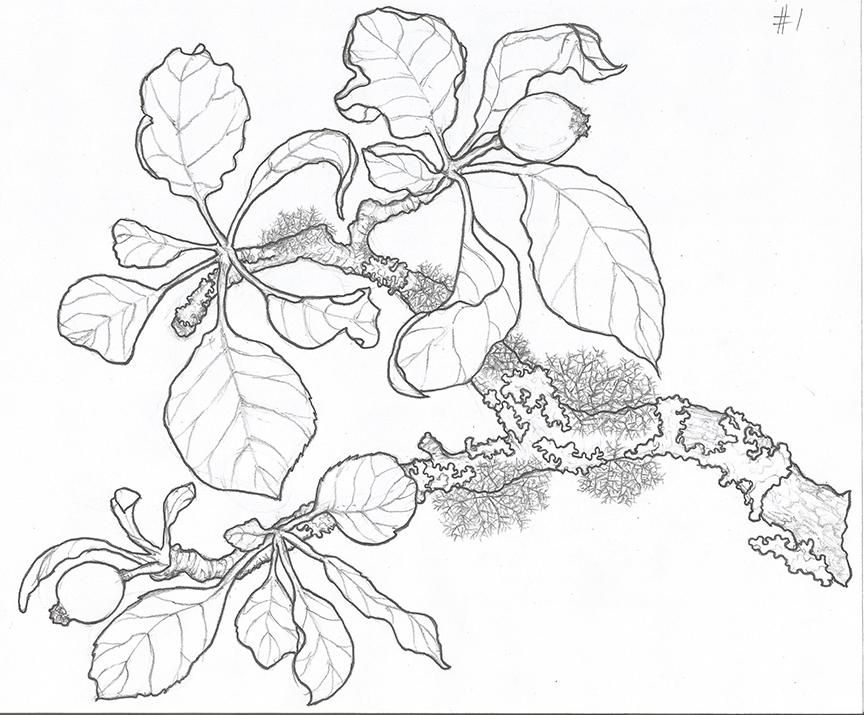 Inking project: Apple branch in apple forming stage - image 3 - student project