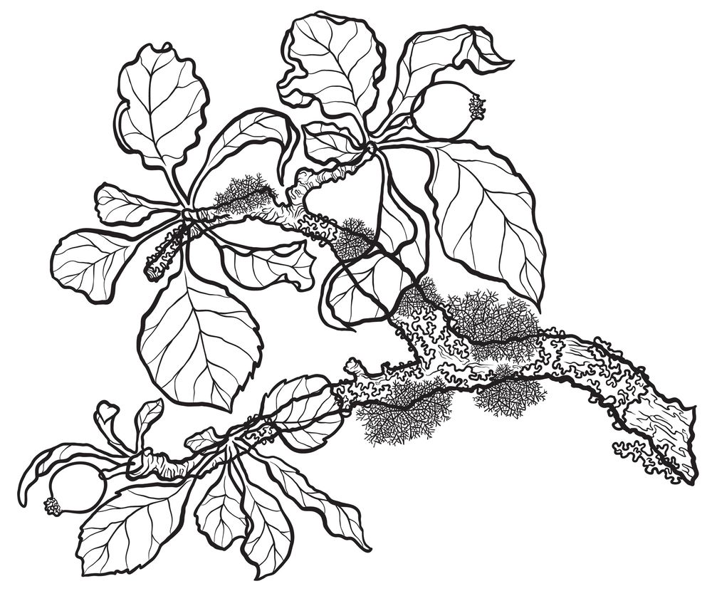 Inking project: Apple branch in apple forming stage - image 4 - student project