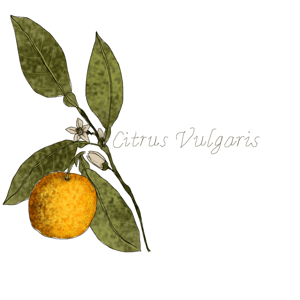 Citrus Vulgaris - image 2 - student project