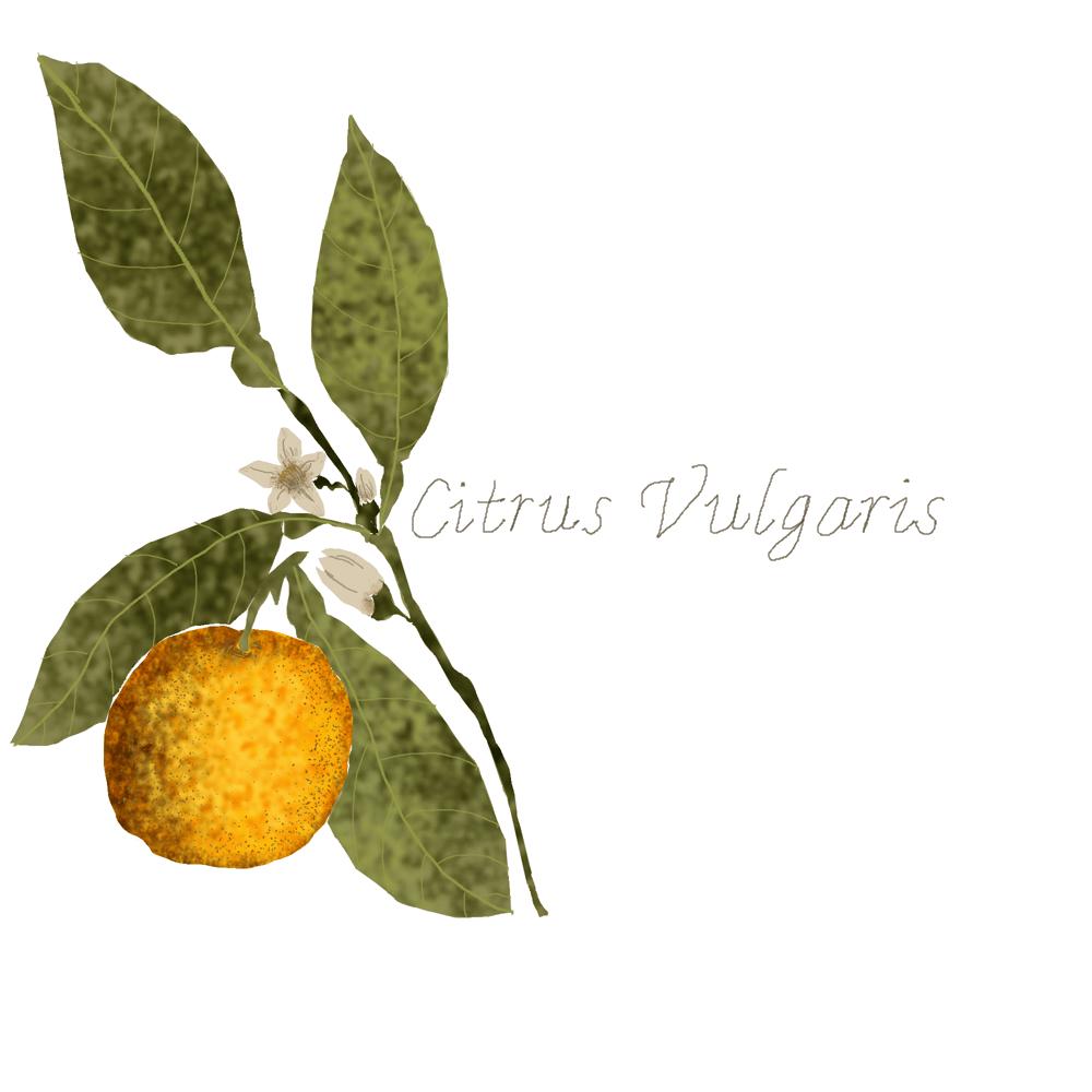 Citrus Vulgaris - image 1 - student project