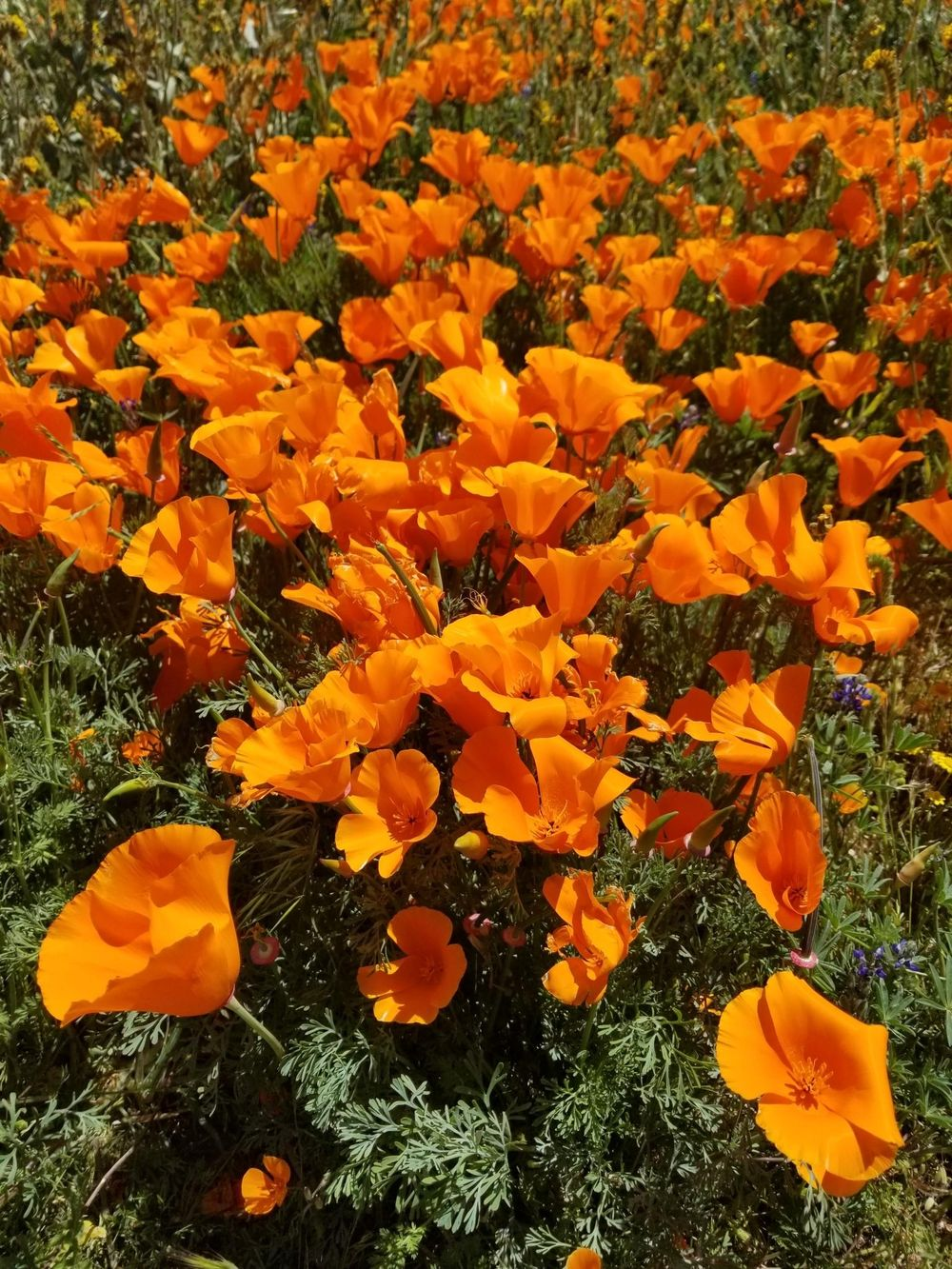 Southern California Wildflowers - image 2 - student project