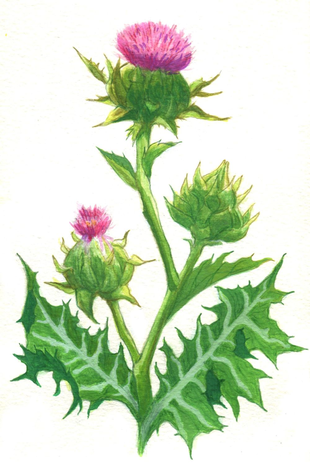 Milk Thistle - image 1 - student project
