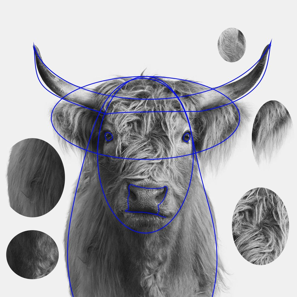Highland Cow - image 3 - student project