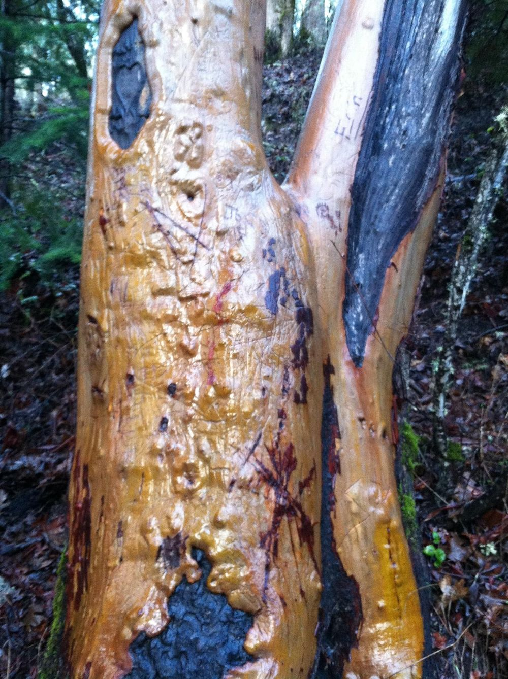 Madrones Glistening in the Rain - image 1 - student project