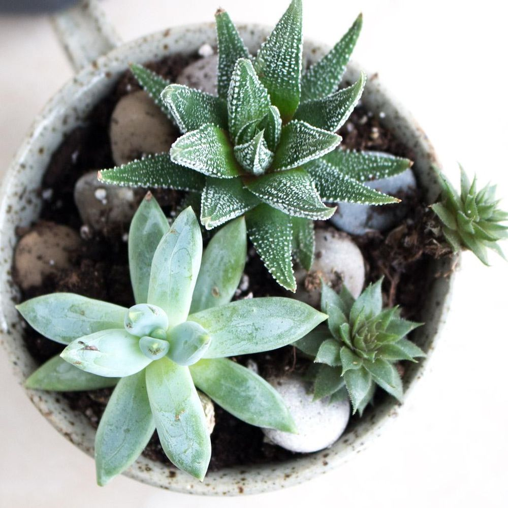 Happy Cup of Succulents 2 Months Later - image 1 - student project
