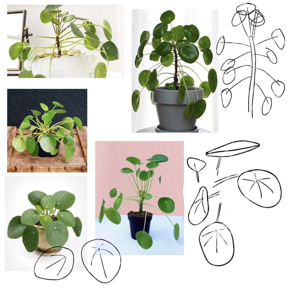 Plant Illustrations - Pilea - image 1 - student project