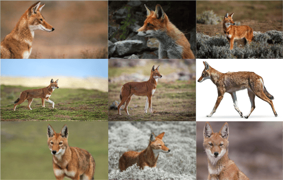 Ethiopian Wolf - image 1 - student project