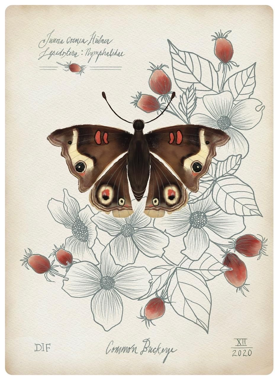 Botanical Illustration: Common Buckeye - image 1 - student project