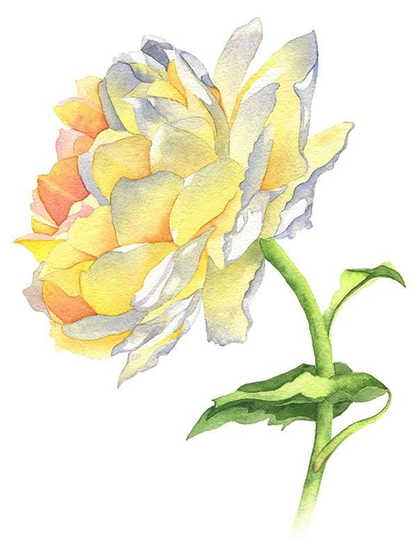 Yellow Rose Watercolor - image 1 - student project