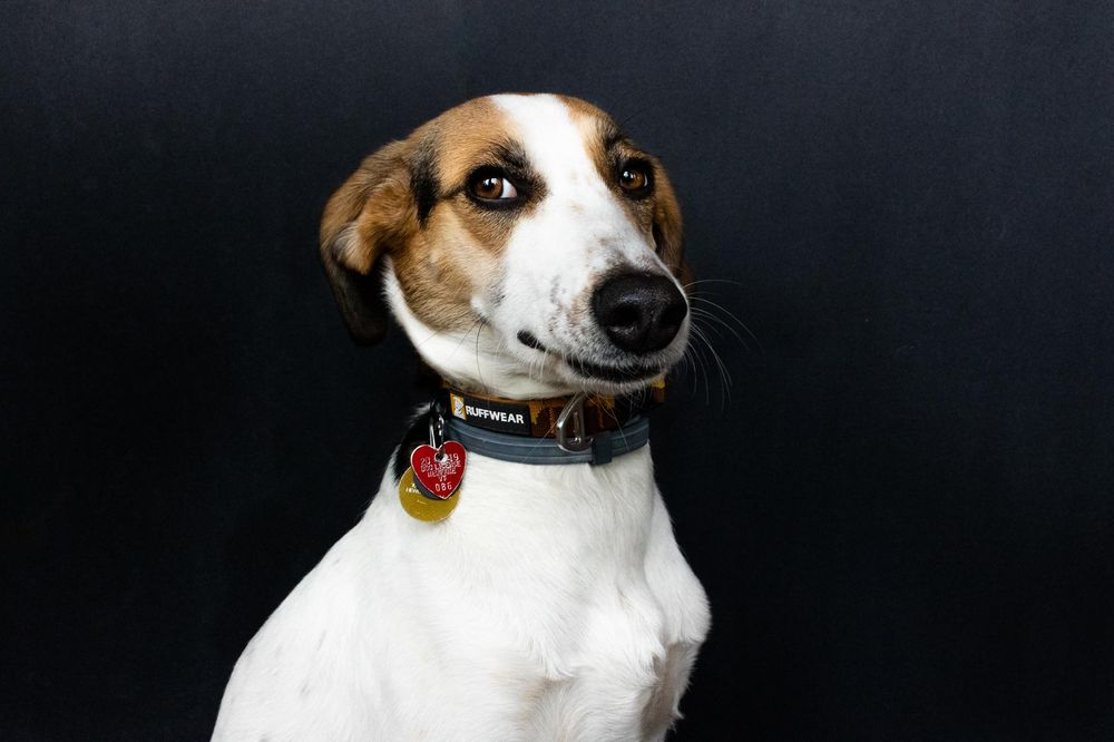 Pet Portraits: Gidget - image 3 - student project