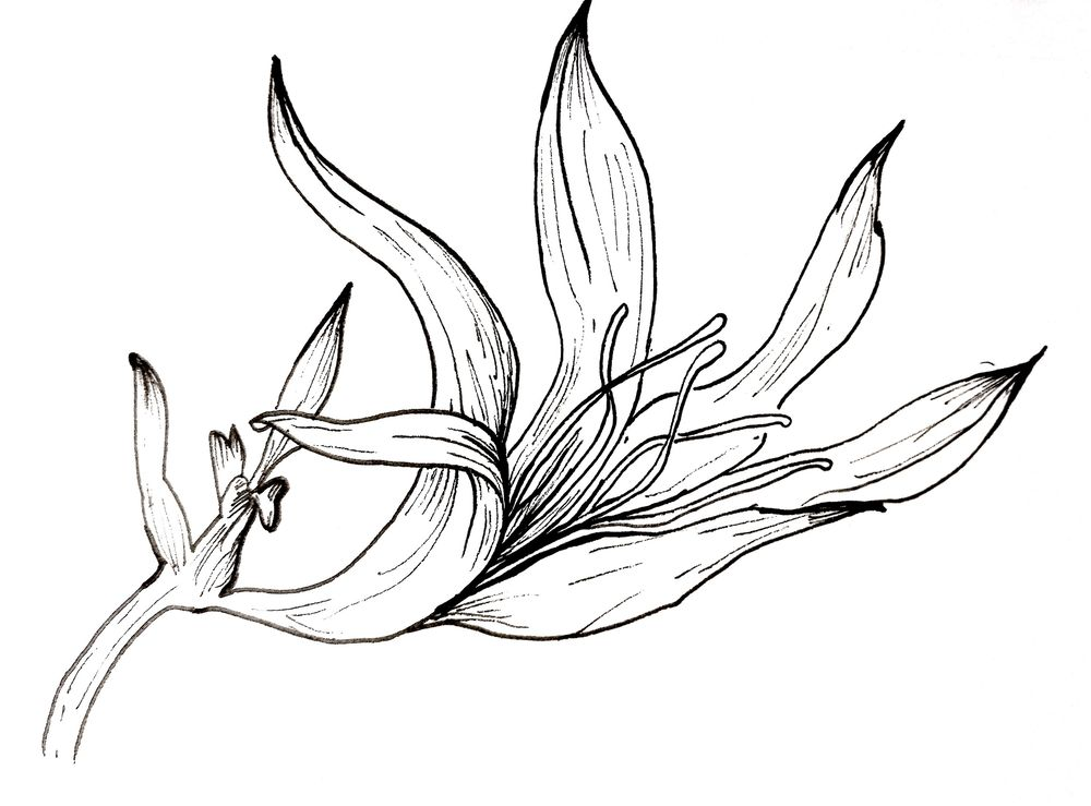 Floral Practice -- Line Drawing - image 1 - student project