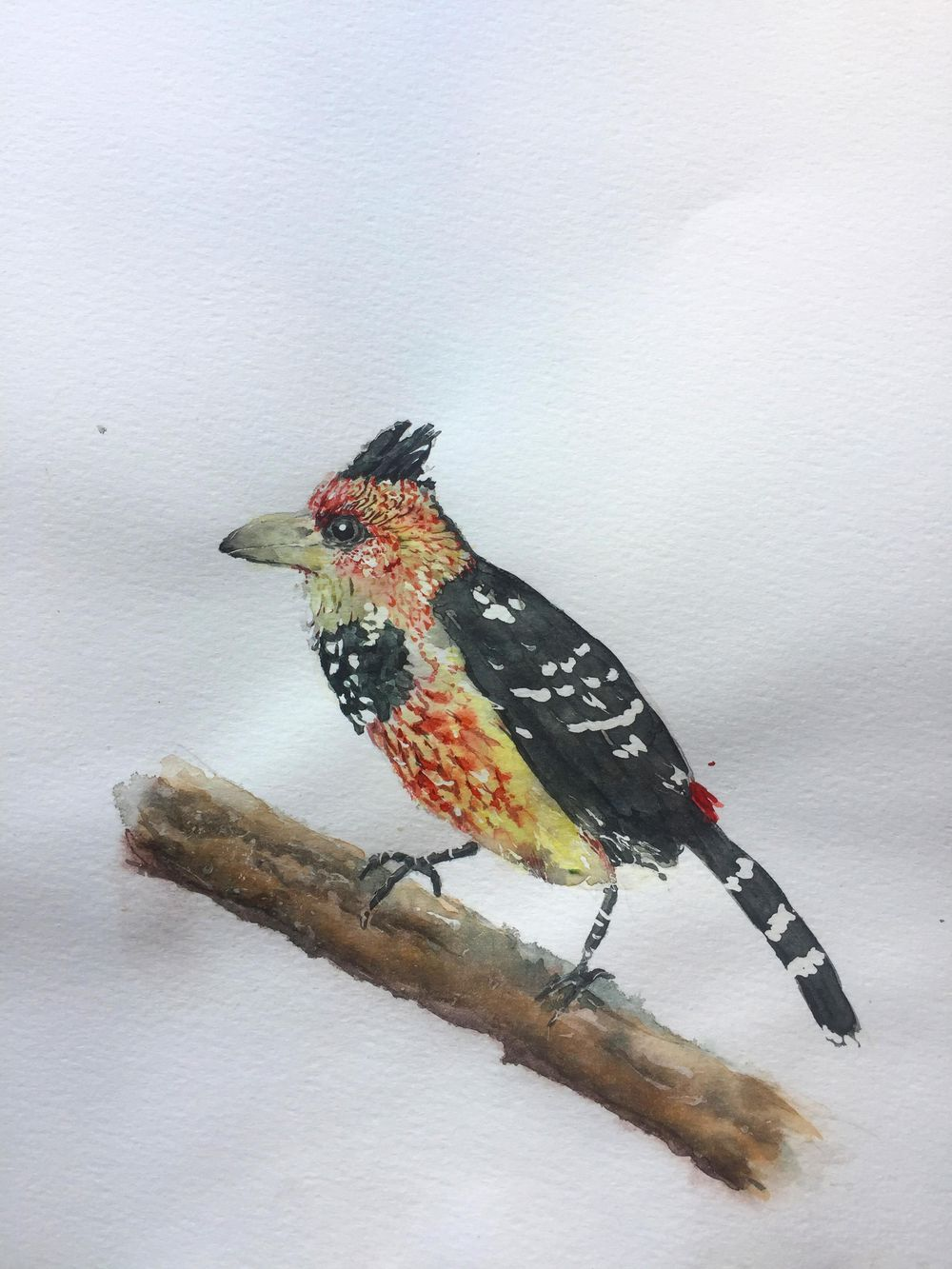 Crested Barbet Watercolour - image 1 - student project