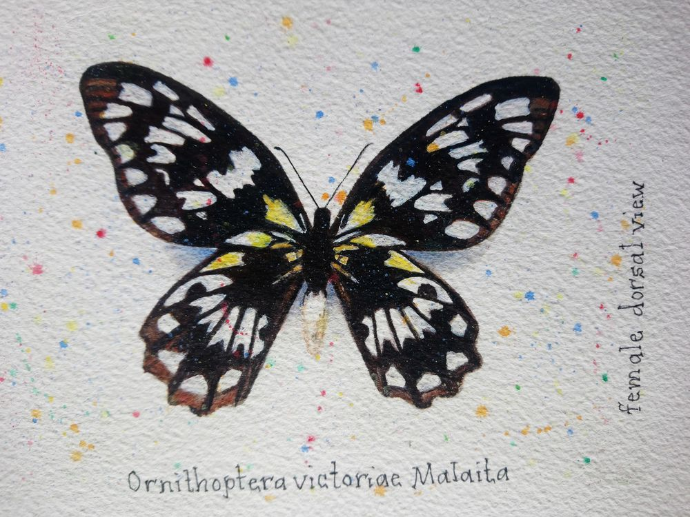 7 Butterflies of the Solomon Islands - image 6 - student project