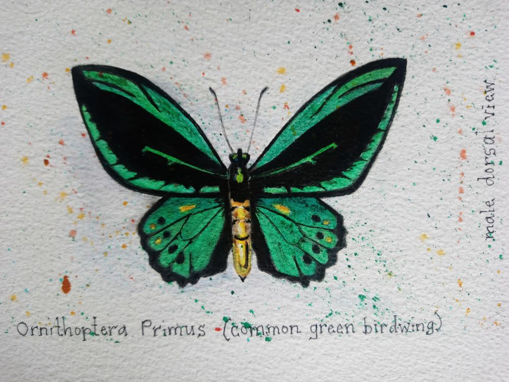 7 Butterflies of the Solomon Islands - image 3 - student project