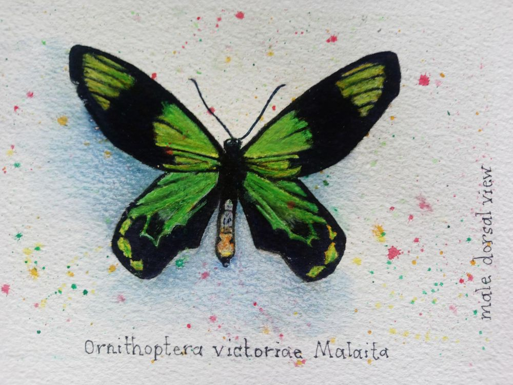 7 Butterflies of the Solomon Islands - image 7 - student project