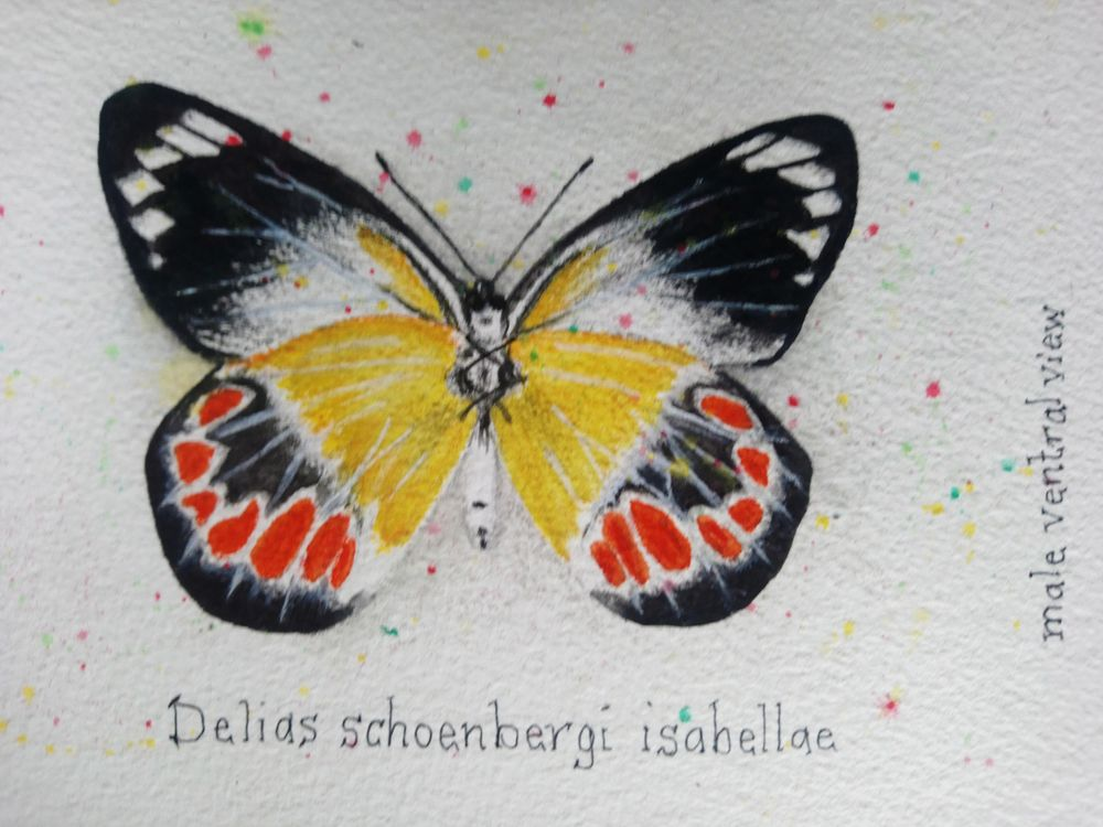 7 Butterflies of the Solomon Islands - image 5 - student project
