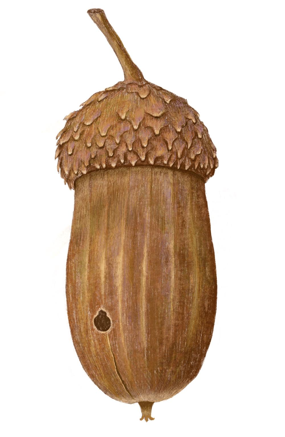 acorn - image 1 - student project