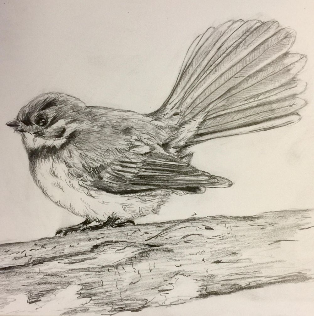 Fantail in Pencil - image 1 - student project