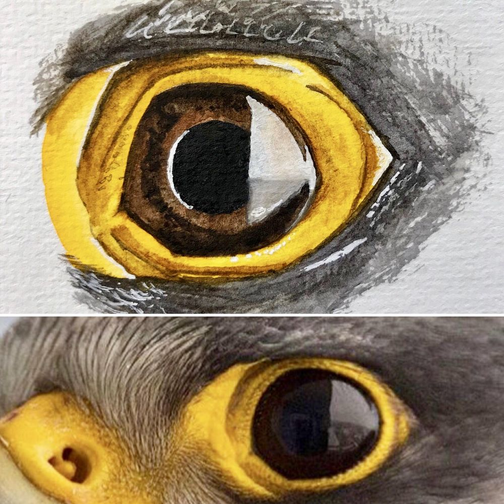 Peregrine Falcon - Eye Study - image 2 - student project