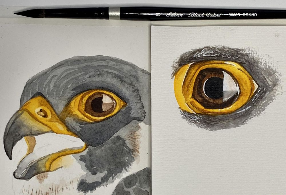 Peregrine Falcon - Eye Study - image 1 - student project