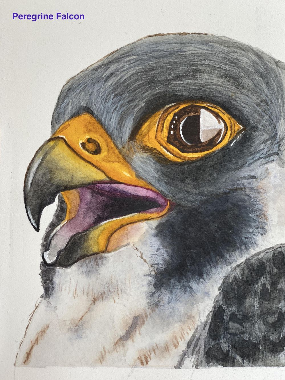 Peregrine Falcon - Eye Study - image 3 - student project