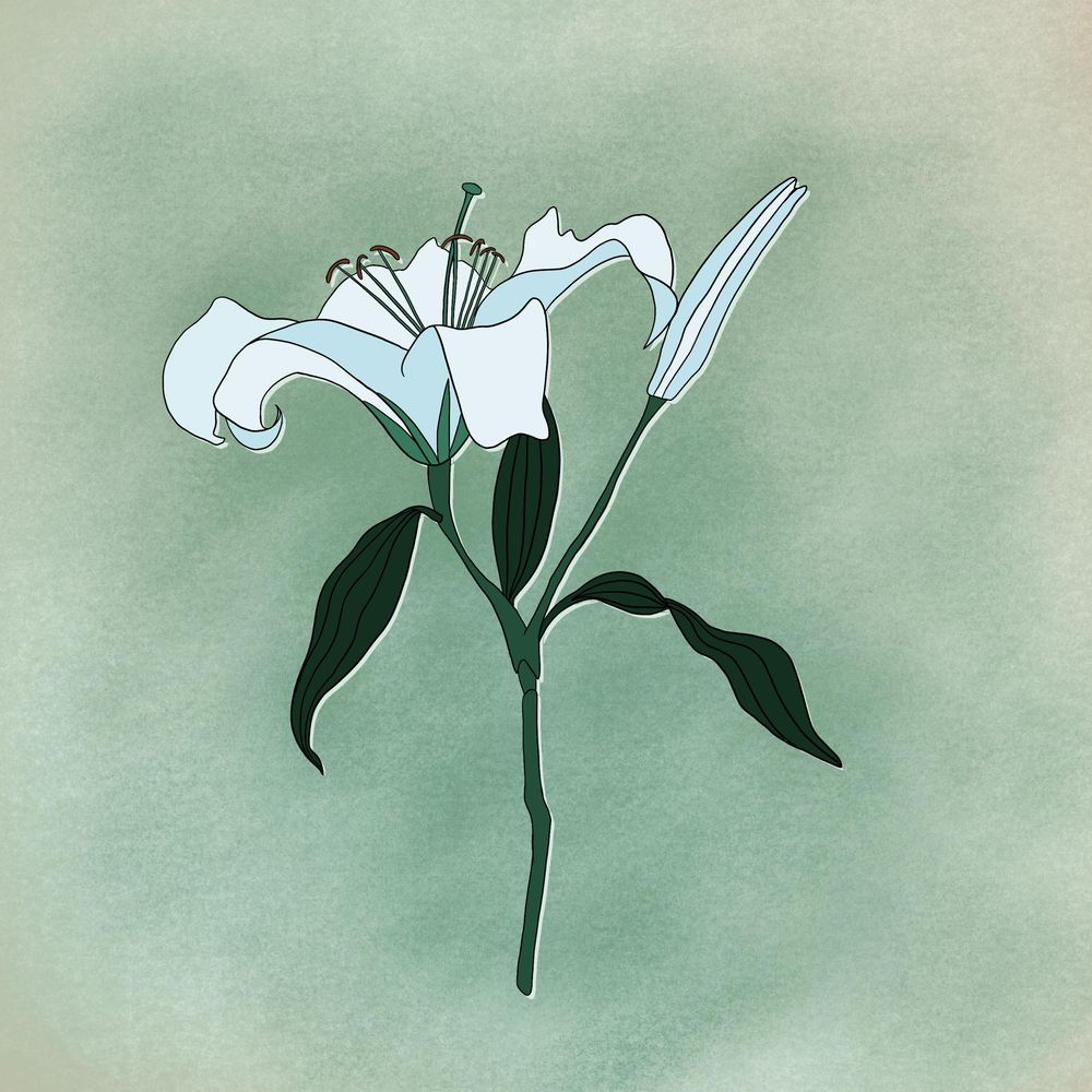 Botanical Illustration: The Lily - image 1 - student project