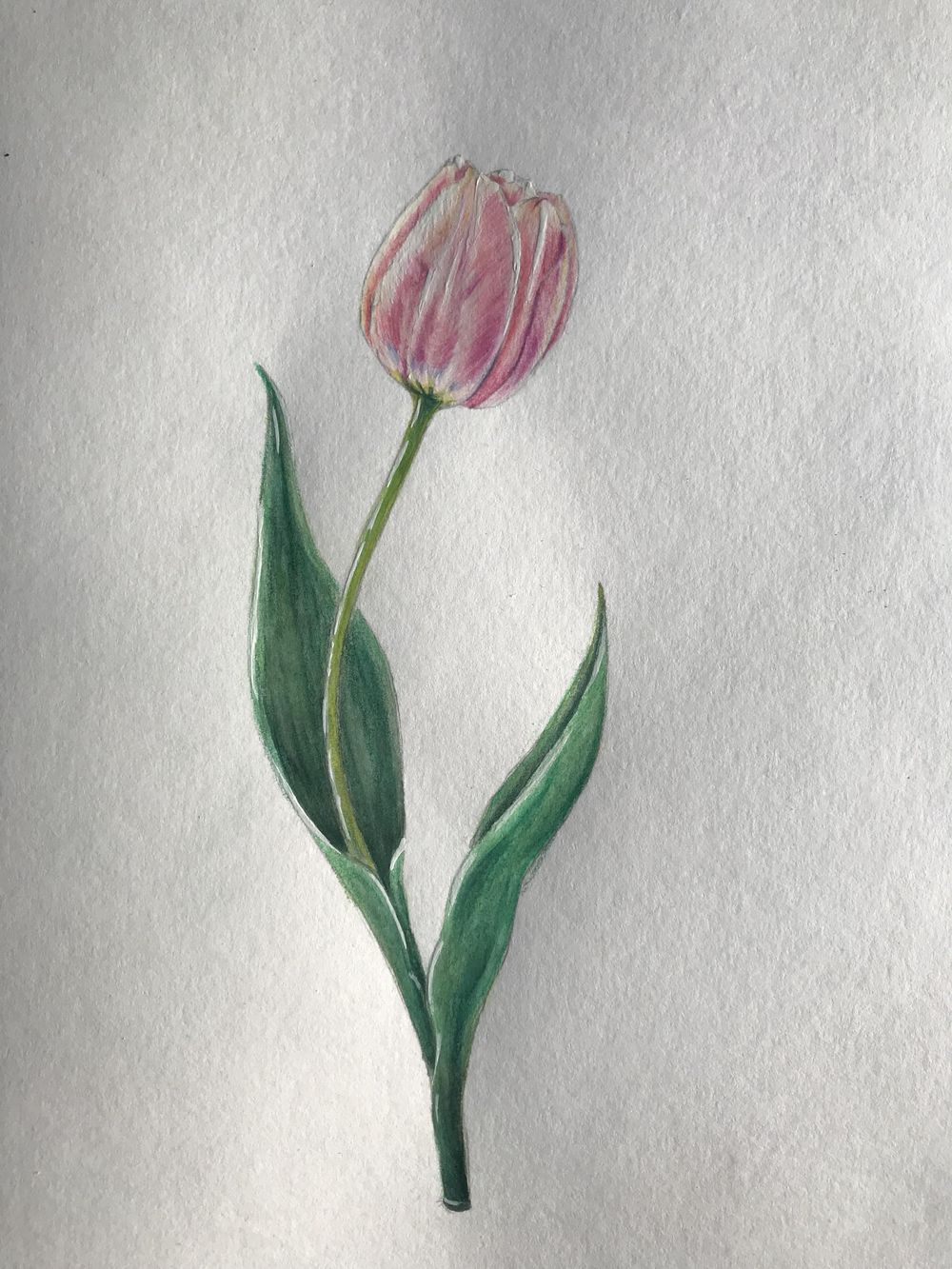 Light pink tulip - image 1 - student project