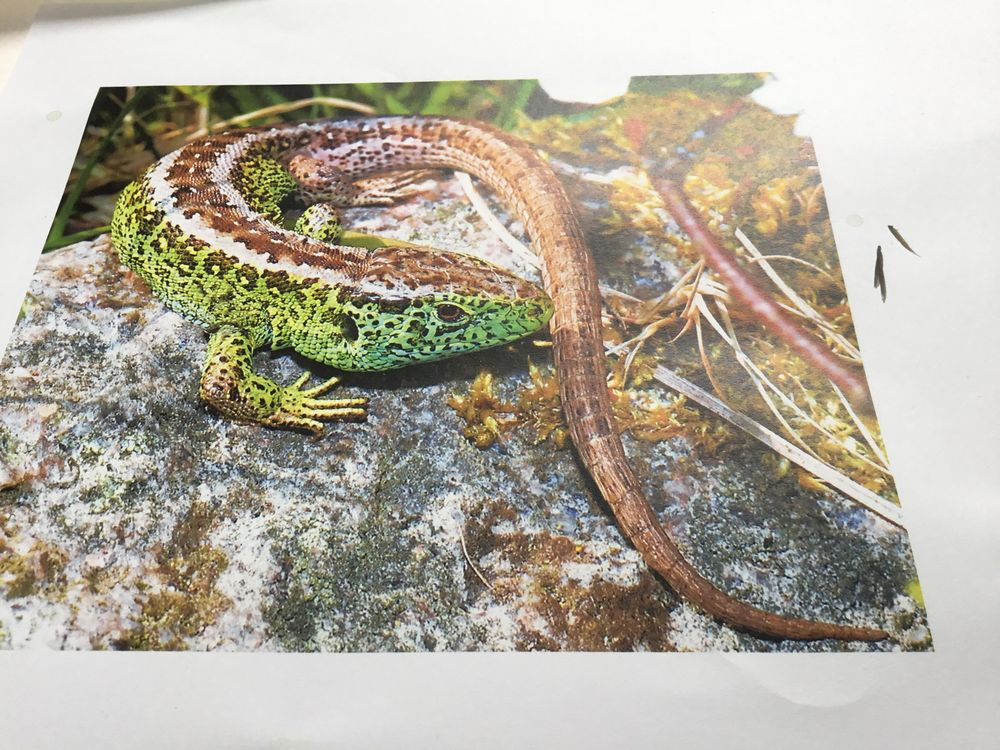 Green UK lizzard - image 6 - student project