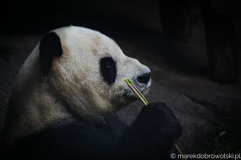 Chinese Panda paintings - image 3 - student project