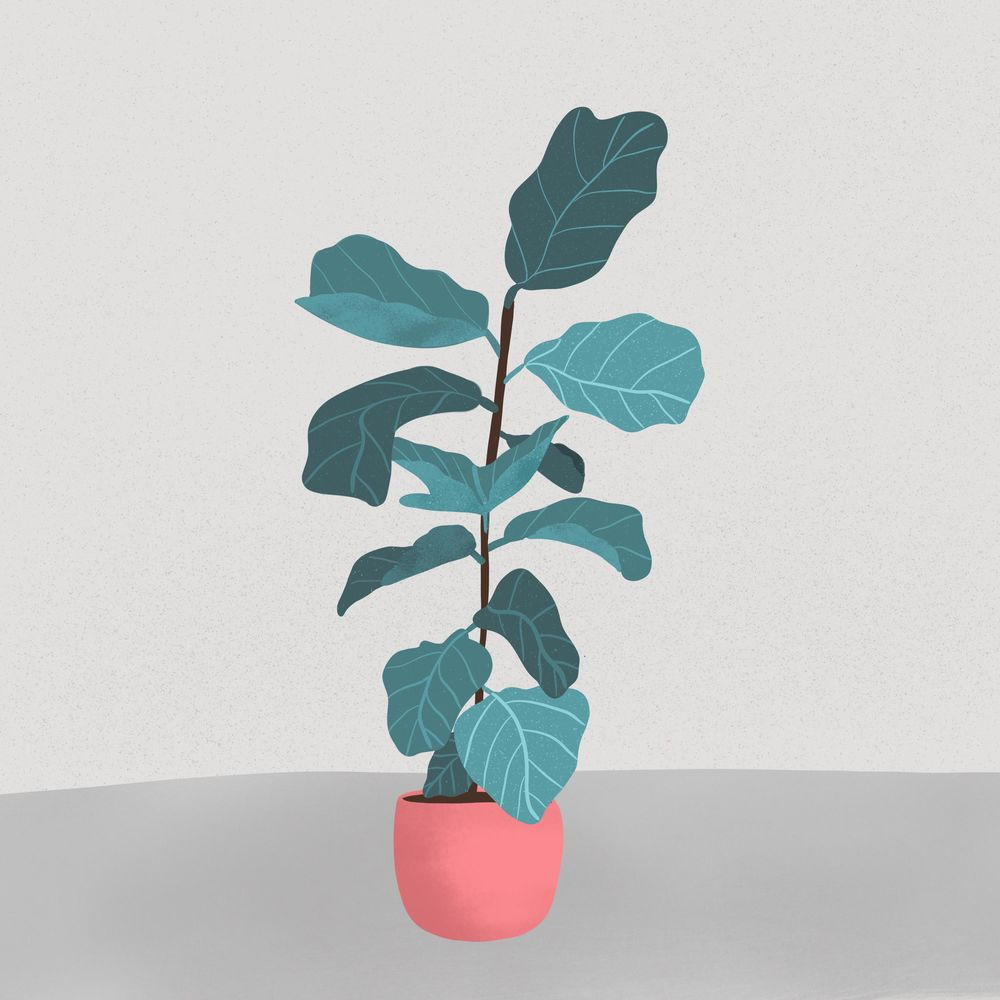 Fiddle leaf fig - image 1 - student project