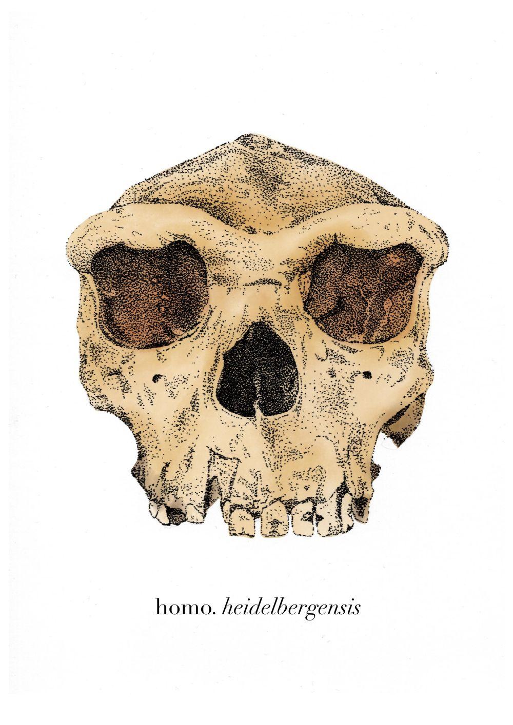 Homo heidelbergensis - image 2 - student project