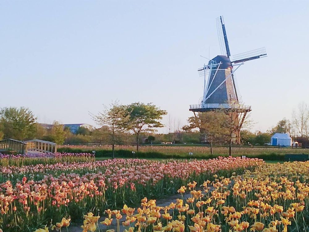Sketch of the tulip festival in Holland, MI - image 2 - student project