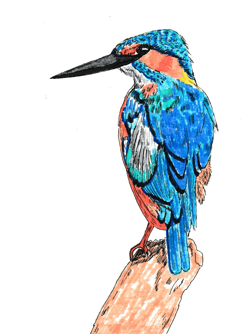 Kingfisher Illustration - image 2 - student project
