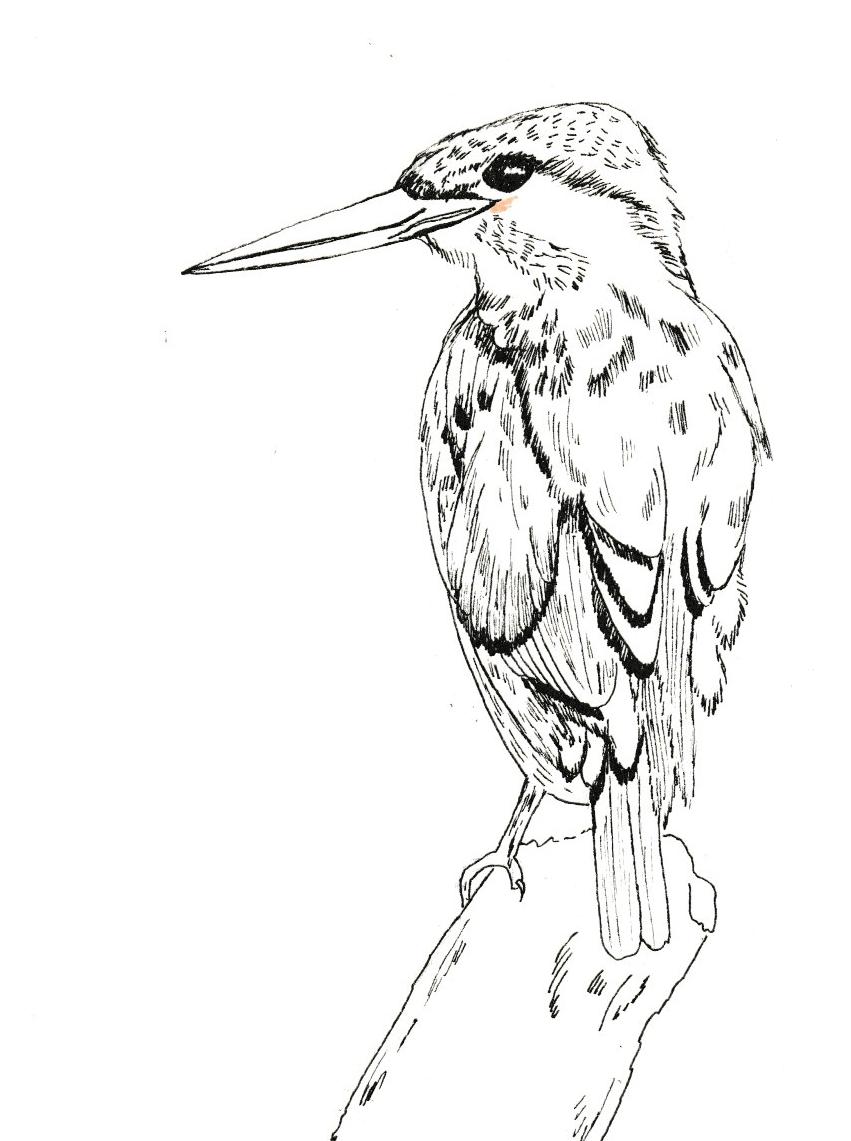 Kingfisher Illustration - image 1 - student project