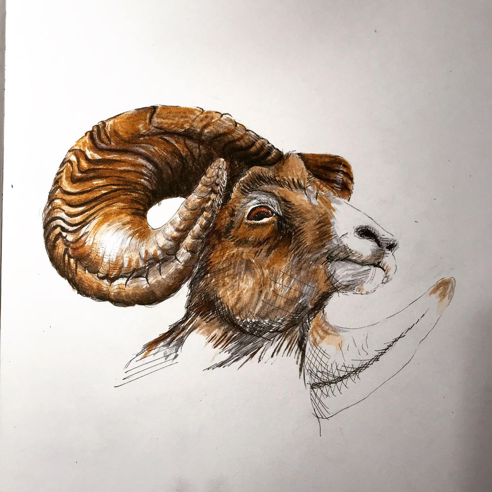 horned sheep and goat - image 1 - student project
