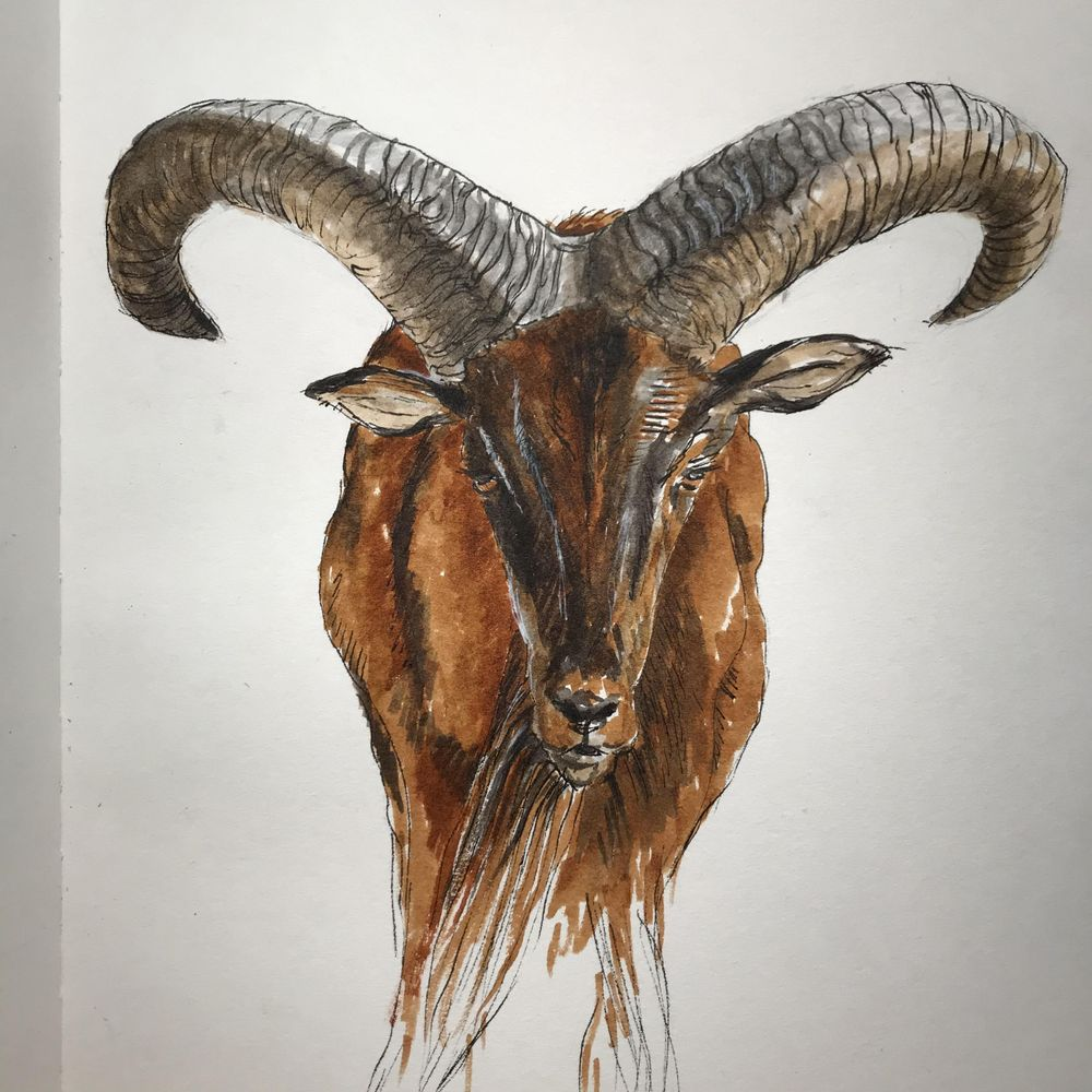 horned sheep and goat - image 2 - student project