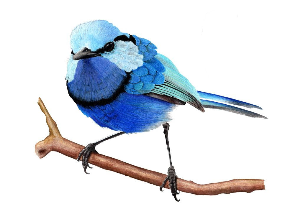 Splendid Fairywren - Malurus splendens - image 4 - student project