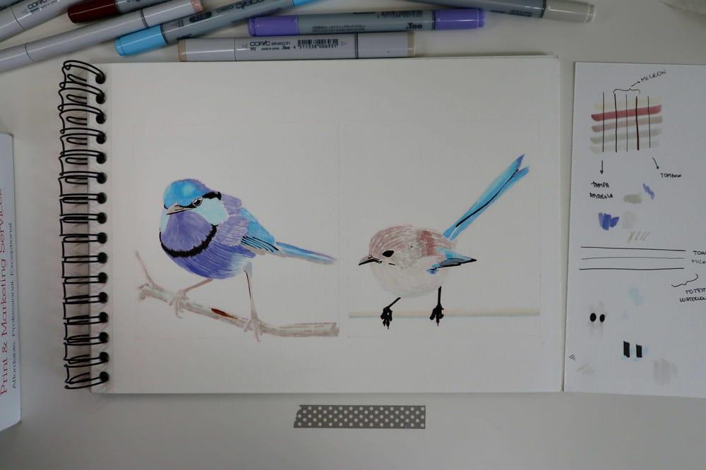Splendid Fairywren - Malurus splendens - image 3 - student project