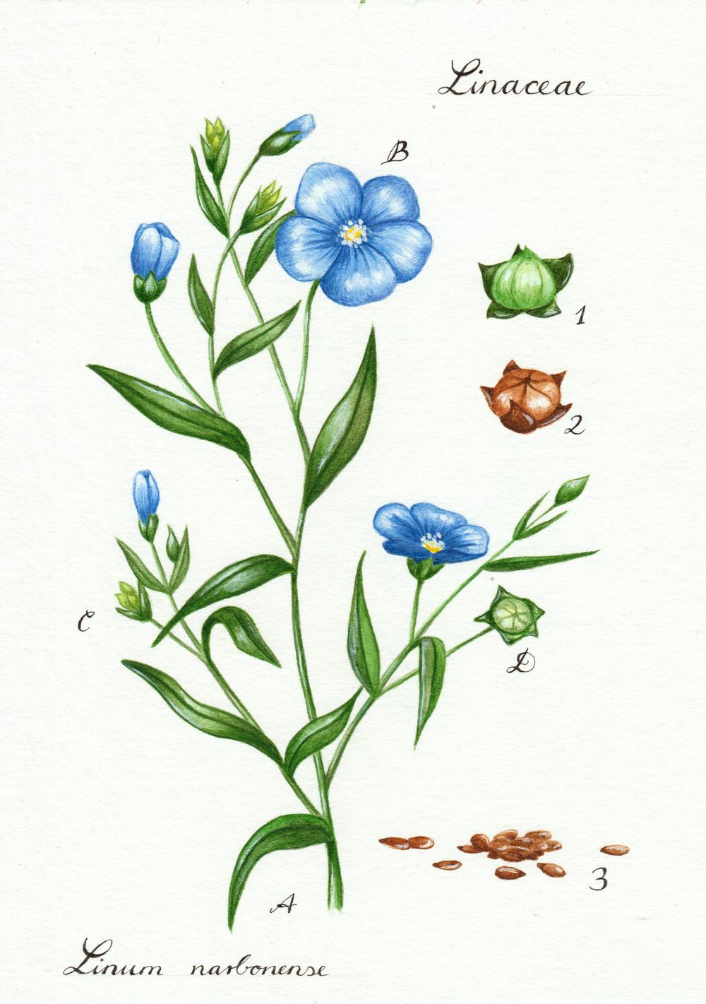 Linseed illustration - image 3 - student project