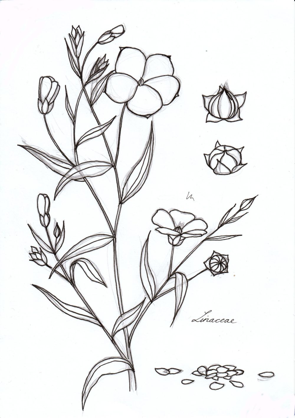 Linseed illustration - image 1 - student project