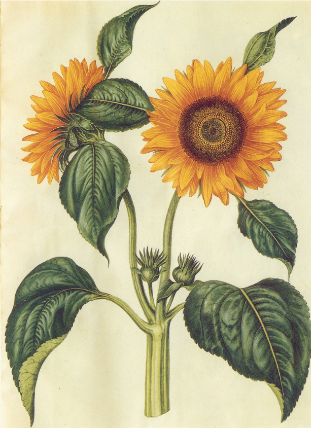 For the Love of Sunflowers - image 2 - student project