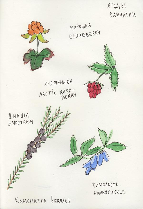 kamchatka berries - image 1 - student project