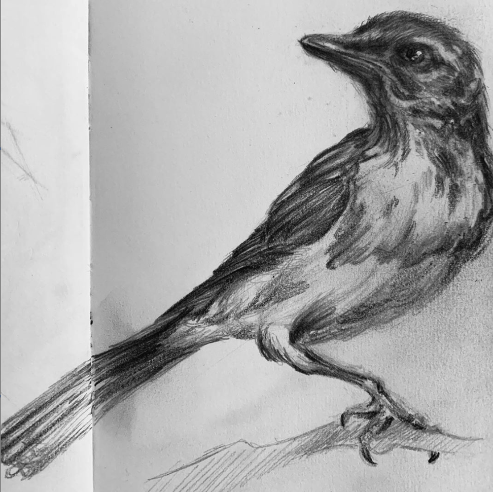 study of a scrub jay - image 1 - student project
